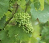 France Champagne grapes x