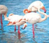 France Provence Camargue National Park pink flamingos x