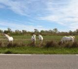 France Provence Camargue horses  x