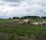 Spakenburg area sheep