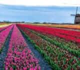 Tulip field x
